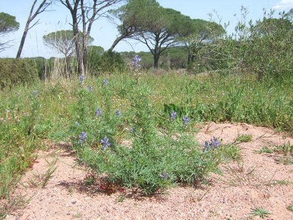 Lupinus angustifolius - lupin à feuilles étroites Dscf9922