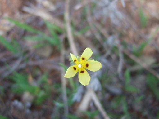 Tuberaria guttata - hélianthème à gouttes Dscf9926