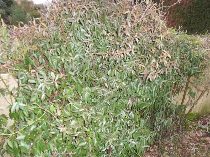 Trachelospermum asiaticum - faux jasmin jaune Trache10
