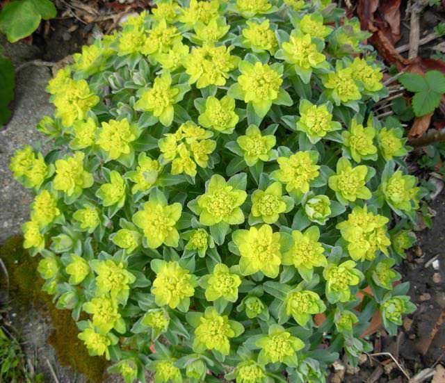 """Déficoncours """"Euphorbia"""" - les votes Vznfoo10"""