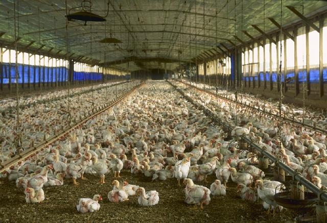 Agriculture qualitative ou quantitative Poulet10