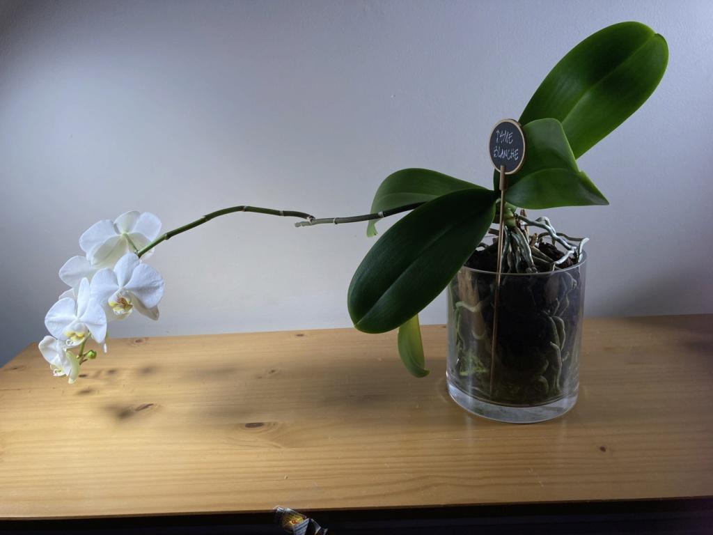 Floraison Phalaenopsis hybrides 0c8b8410