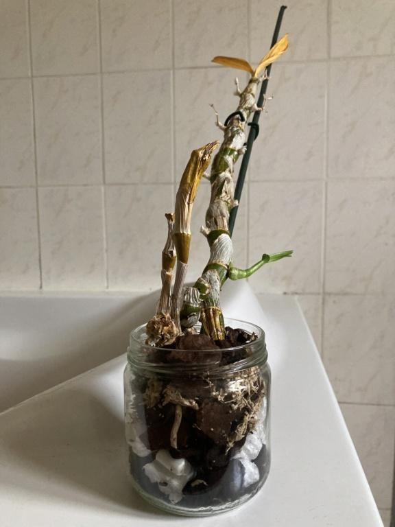 Dendrobium Nobile en détresse  3fda2510