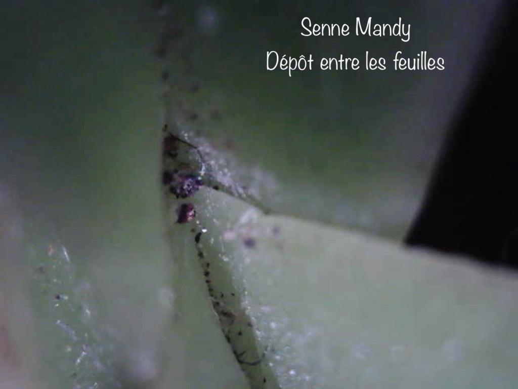 Insectes suceurs-piqueurs / acariens sur un Phal. Senne Mandy (ID needed) 4bf36510