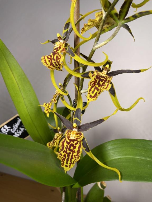 Bandfieldara Gilded Tower 'Mystic Maze' ou orchidée araignée 5749ba10