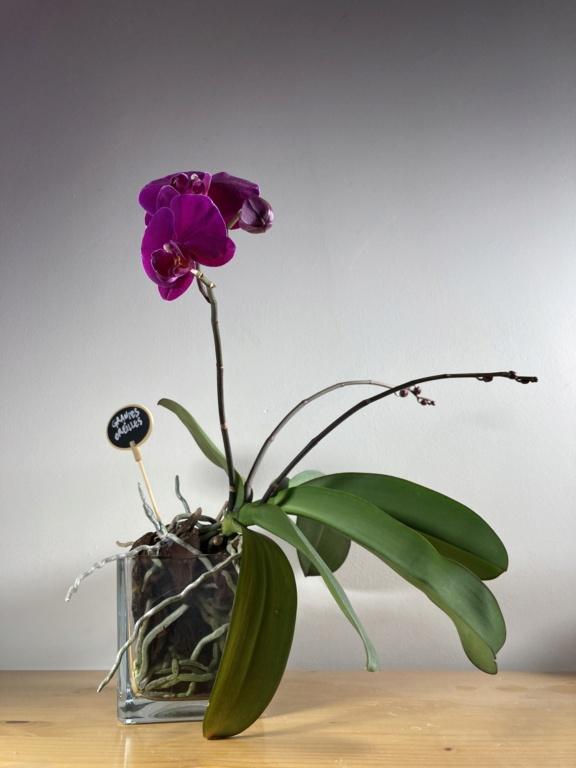 Floraison Phalaenopsis hybrides 5b1ead10