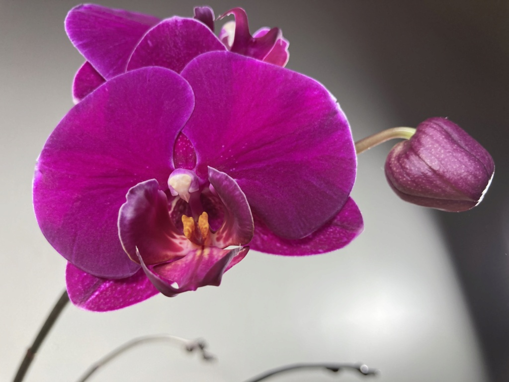 Floraison Phalaenopsis hybrides 5c324410
