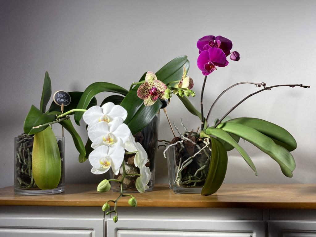 Floraison Phalaenopsis hybrides 71558810