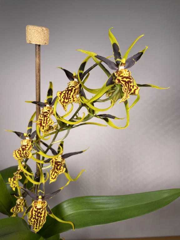 Bandfieldara Gilded Tower 'Mystic Maze' ou orchidée araignée 745fcf10