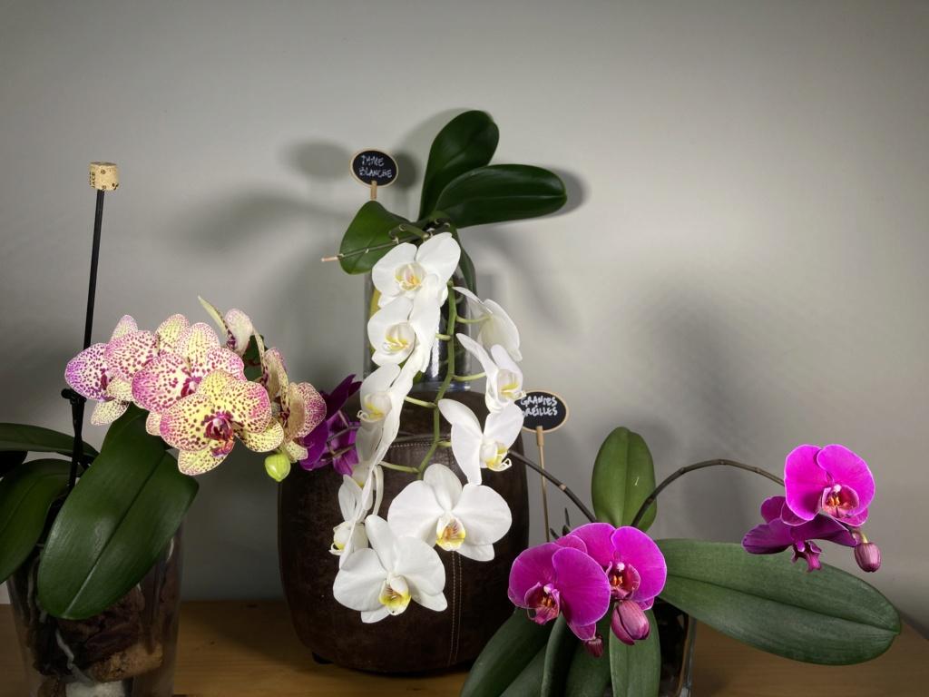 Floraison Phalaenopsis hybrides 7e2ce510
