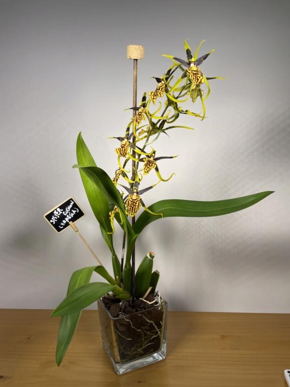 Bandfieldara Gilded Tower 'Mystic Maze' ou orchidée araignée 848c8310