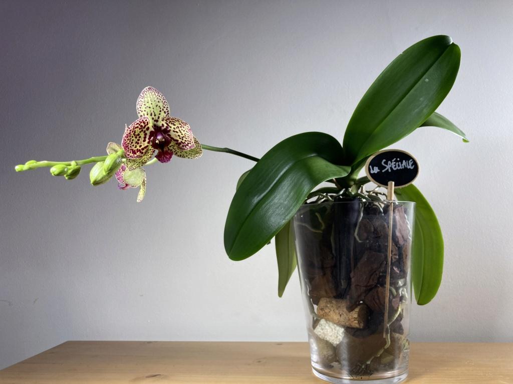Floraison Phalaenopsis hybrides 98f84a10