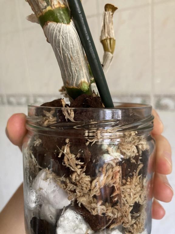 Dendrobium Nobile en détresse  9cab1d10