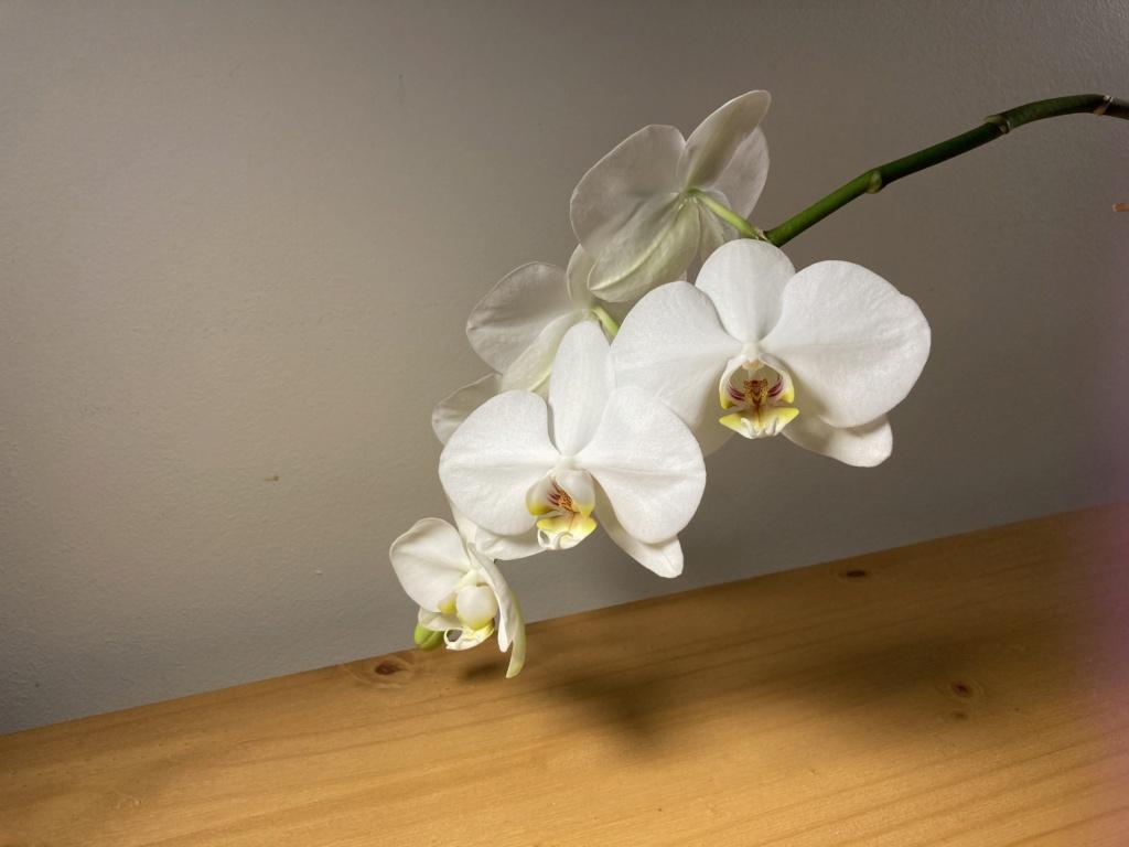 Floraison Phalaenopsis hybrides B4d66c10