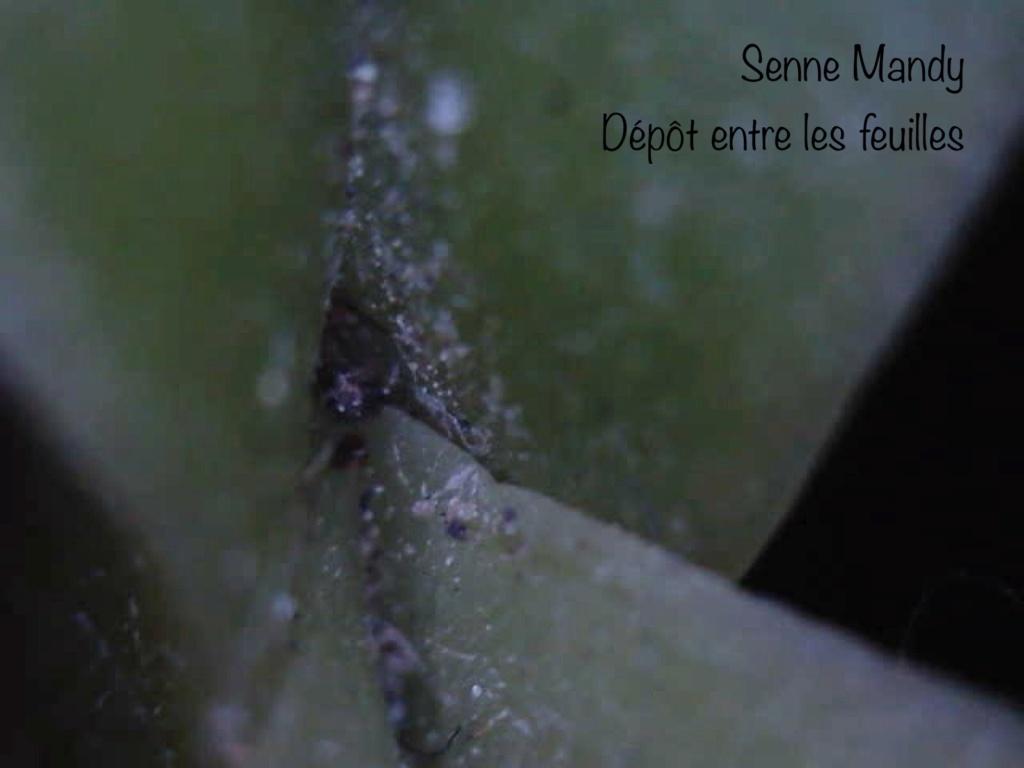 Insectes suceurs-piqueurs / acariens sur un Phal. Senne Mandy (ID needed) Bec60010