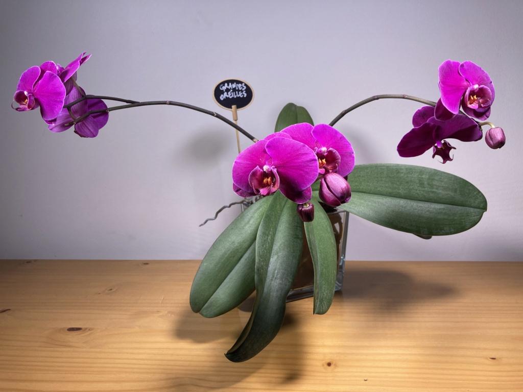 Floraison Phalaenopsis hybrides C25a1d10