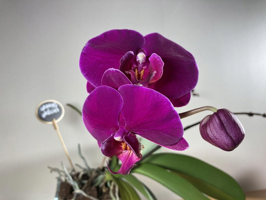 Floraison Phalaenopsis hybrides Dbc99110