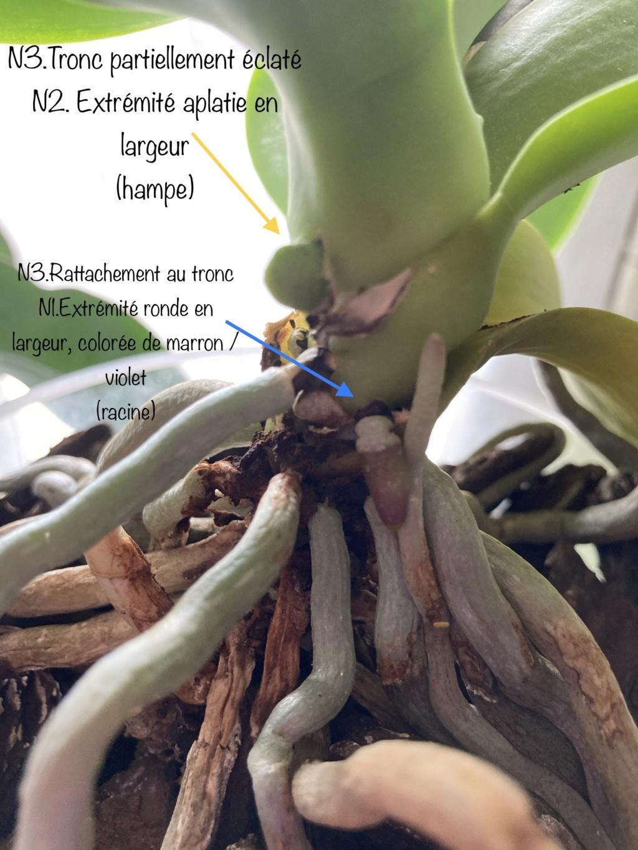 Comment distinguer les hampes des racines d'un Phalaenopsis F1c96c10
