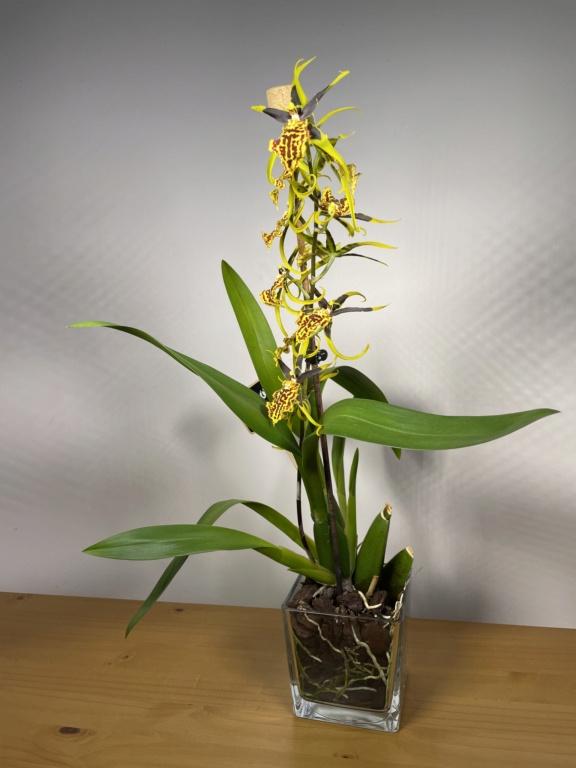 Bandfieldara Gilded Tower 'Mystic Maze' ou orchidée araignée Fc49e510