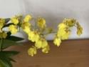 Floraison Oncidium 'Pluie d'Or' 44179e10