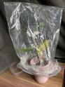 Dendrobium Nobile en détresse  Daca4610