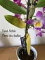 Dendrobium Nobile en détresse  Dd26e010