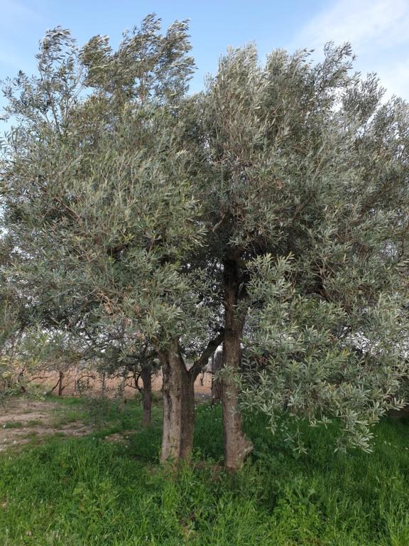 Poda de renovación olivos empeltre (Navarra) 20200310
