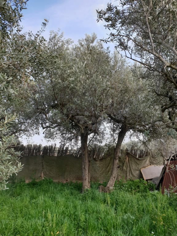 Poda de renovación olivos empeltre (Navarra) 20200311