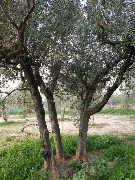 Poda de renovación olivos empeltre (Navarra) 20200312