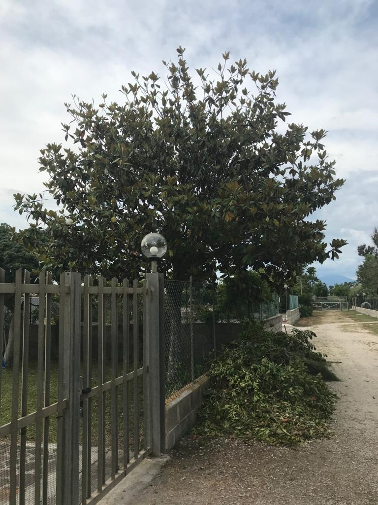 Magnolia potata male 9158c910