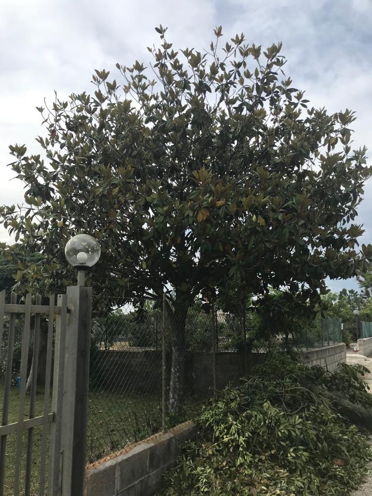 Magnolia potata male Ebf23410