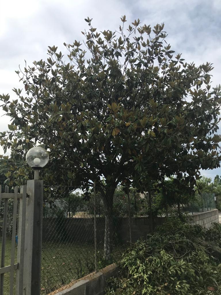 Magnolia potata male F4e96110