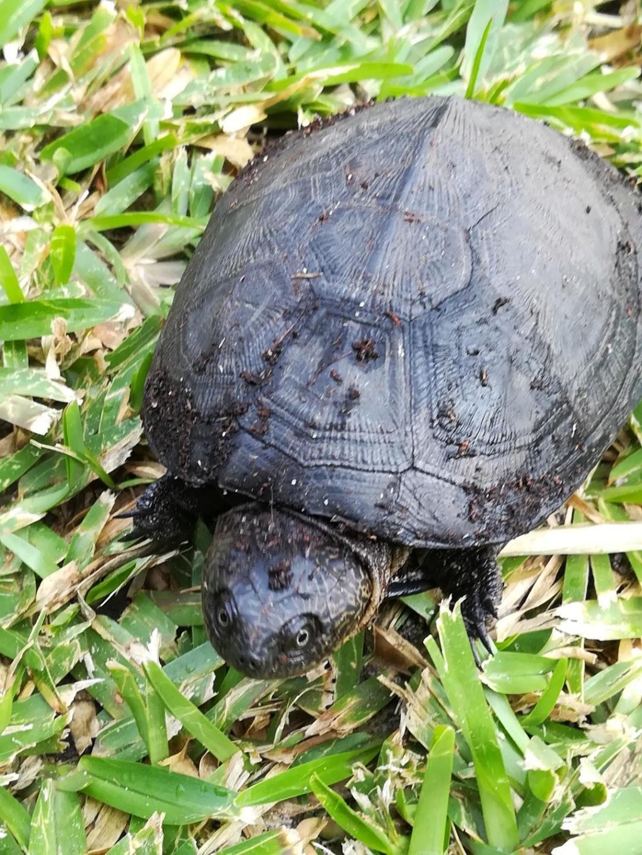 Identification tortue Gabon et alimentation Photo_10
