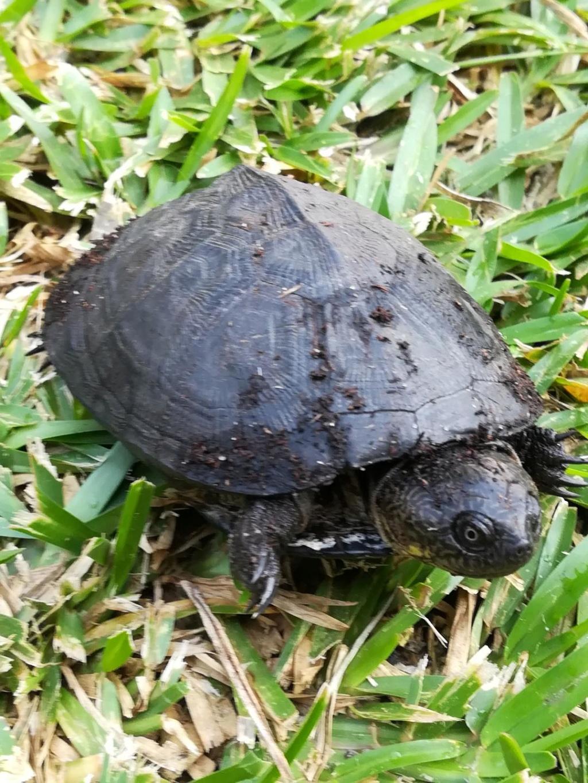 Identification tortue Gabon et alimentation Photo_11