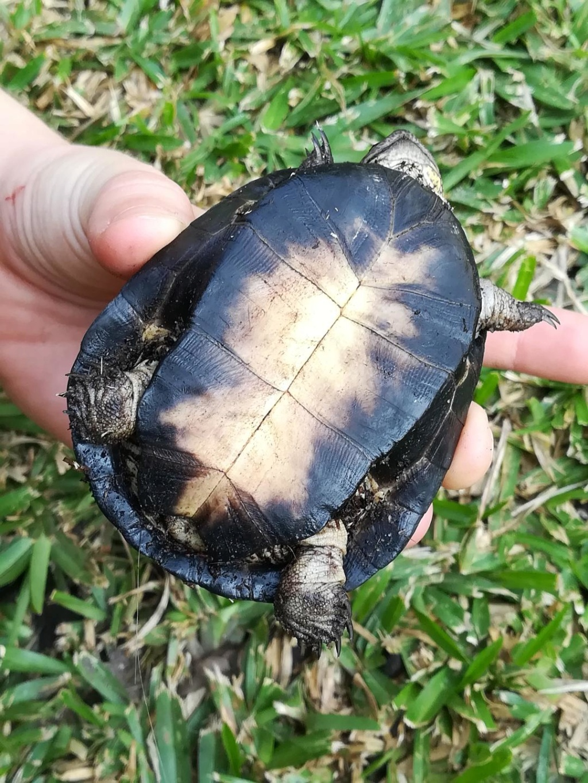 Identification tortue Gabon et alimentation Photo_12
