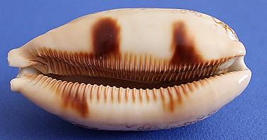 Arestoides argus (L., 1758)  Argus_11