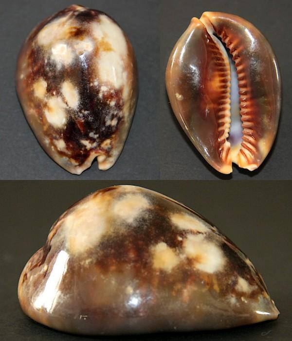 Mauritia mauritiana ancienne Collection Creux Maurit19