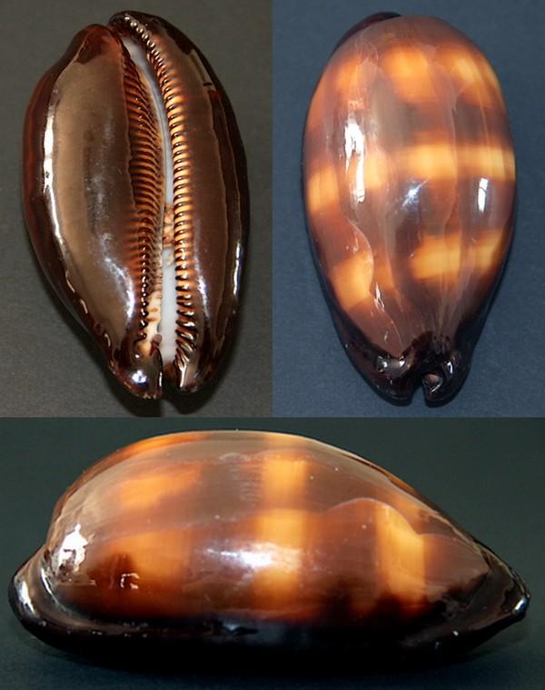 Talparia talpa talpa - (Linnaeus, 1758) Talpa10