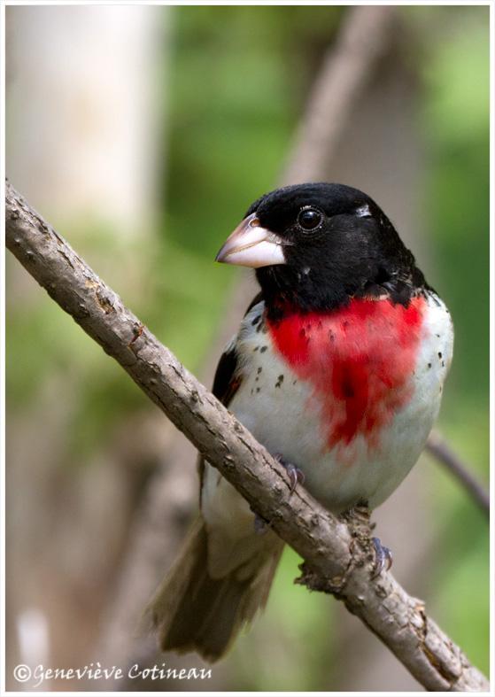 Cardinal à poitrine rose, mâle Img_3110