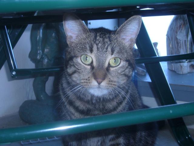 Eliott, beau chat tigré, 2 ans, au Havre P1040515
