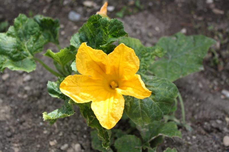 Fleur de courgette 02072015