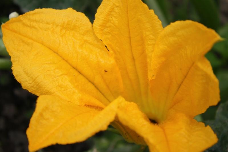 Fleur de courgette 02072019