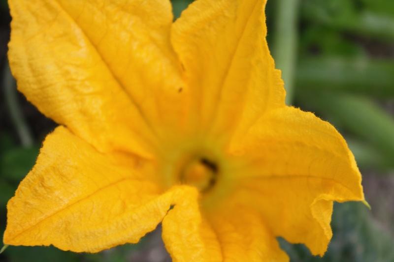 Fleur de courgette 02072020