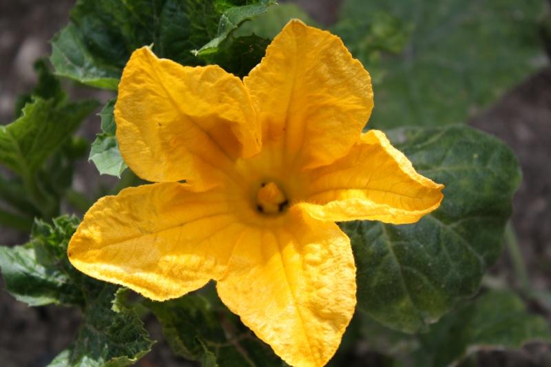 Fleur de courgette 02072023