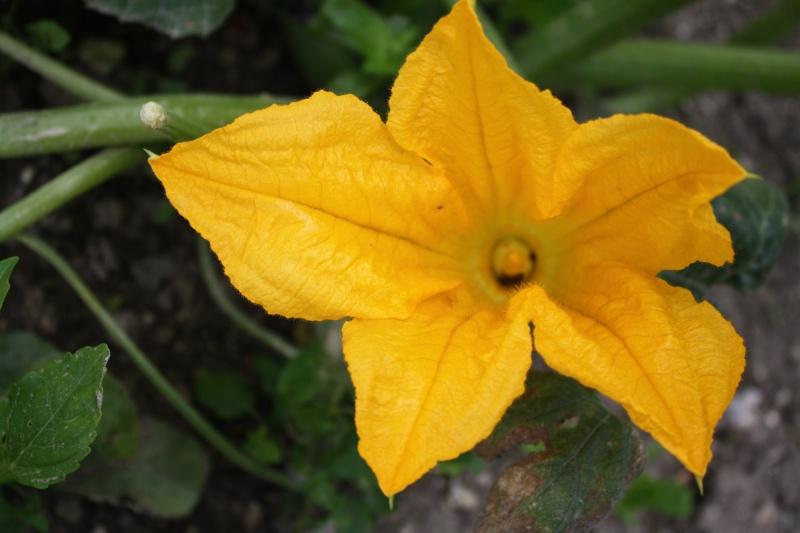Fleur de courgette 02072024