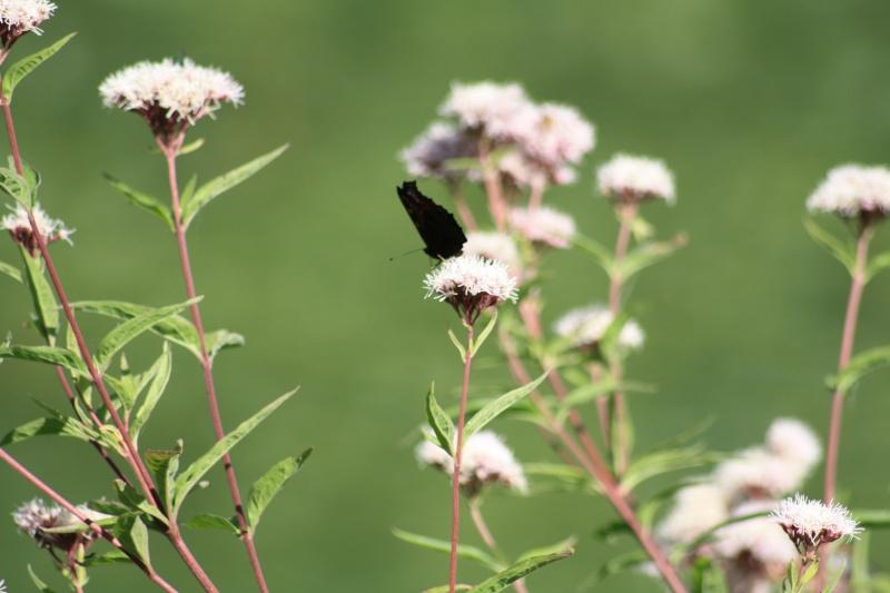 Les papillons. - Page 2 02092048