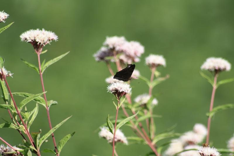Les papillons. - Page 2 02092055