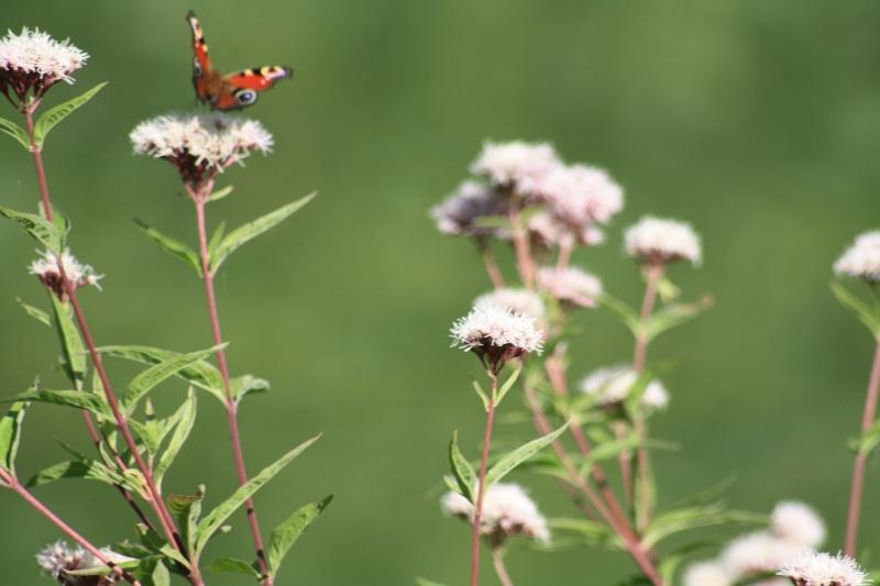 Les papillons. - Page 2 02092057