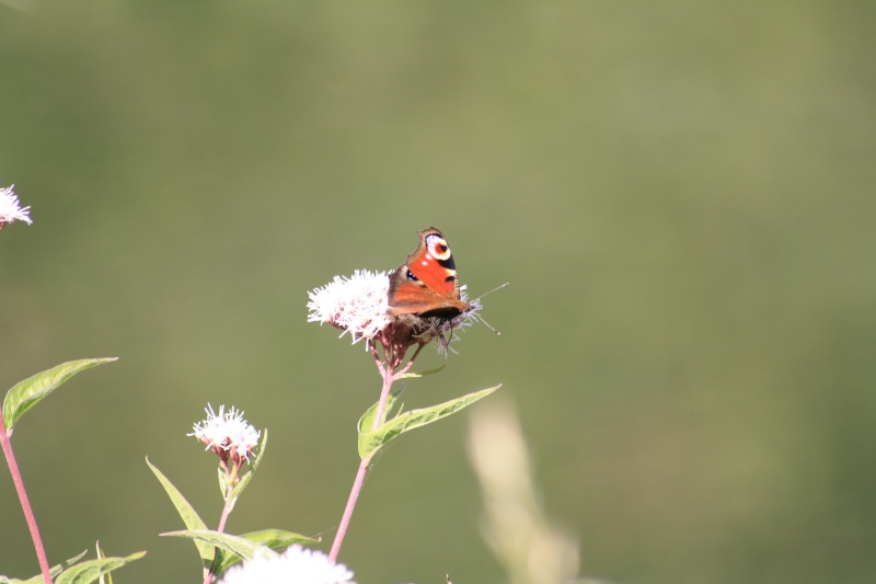 Les papillons. - Page 2 02092061