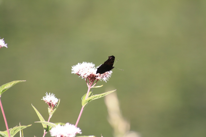Les papillons. - Page 2 02092062